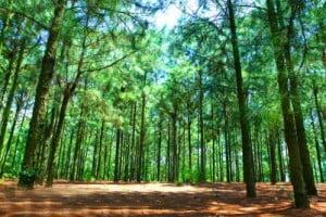 rừng xà nu